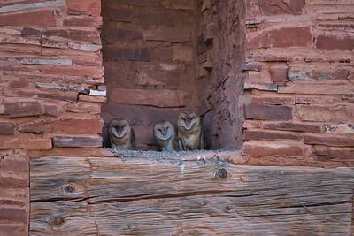 Barn Owl Owlets in Ruins