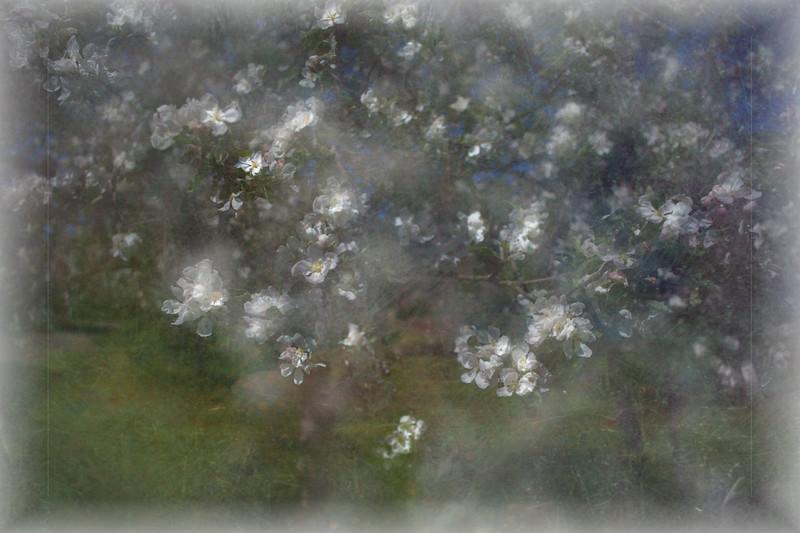 Appelblossoms