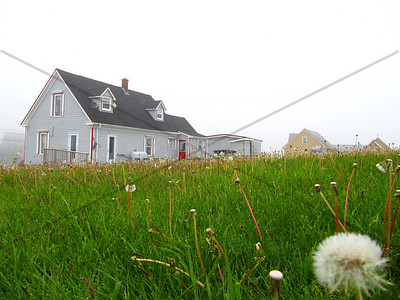 Dandelions and red-trimmed house, Peggy's Cove, Nova Scotia