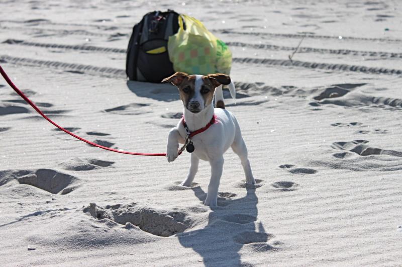 Dougie - Jack Russell terrier<br /> Seaside Park, NJ. February 2011.
