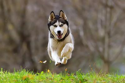 Amina - Siberian Husky