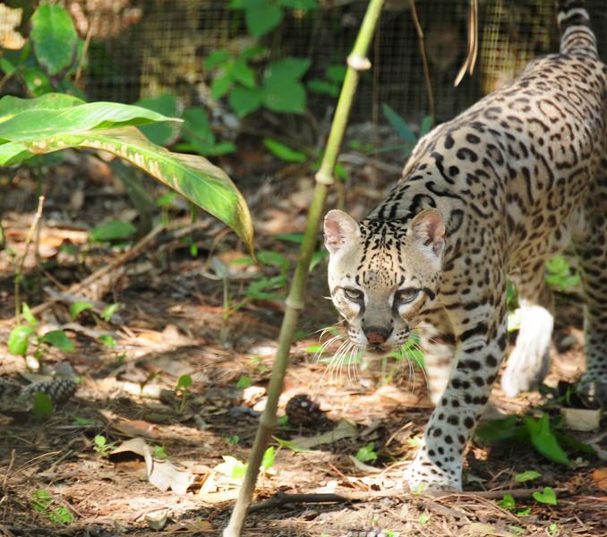 Ocelot.  Belize Zoo