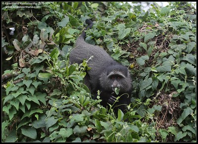 Blue Monkey, Ngorongoro Crater, Ngorongoro Conservation Area, Tanzania, November 2019
