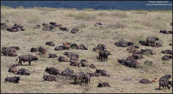 African cape buffalo herd, Ngorongoro Crater, Ngorongoro Conservation Area, Tanzania, November 2019