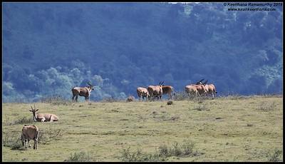 Eland scape with crater wall backdrop, Ngorongoro Crater, Ngorongoro Conservation Area, Tanzania, November 2019