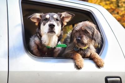Dogs in Truck1