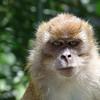 Evil Monkey. Not a happy chappy!