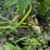 Green tree snake on the trail in the Rompin State Park.