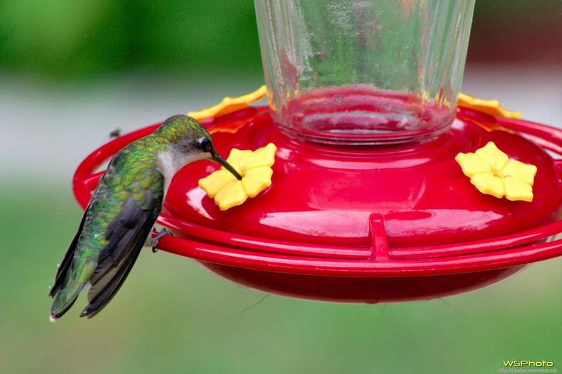 Sipping Humming Bird