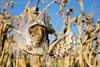 Autumn Milkweed 1