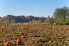 Pumpkin Patch Sunrise