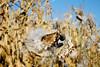 Autumn Milkweed 2