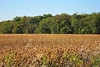 Autumn Soybean Field