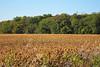 Autumn Soybean Field