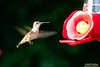 Flying Humming Bird