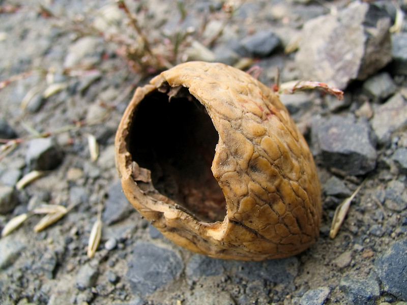 A chewed-on walnut shell laying in the middle of a gravel road caught my eye.<br /> <br /> Location: Hood River, Oregon<br /> <br /> Lens used: n/a (Canon S1 IS point-and-shoot)