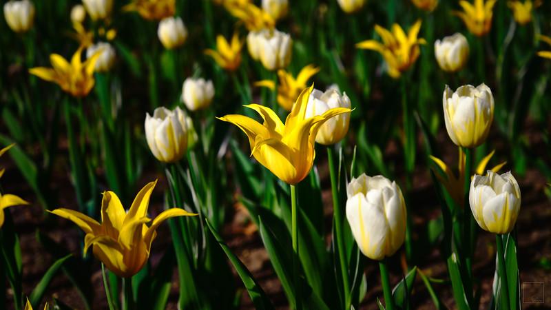 Tulips 2021