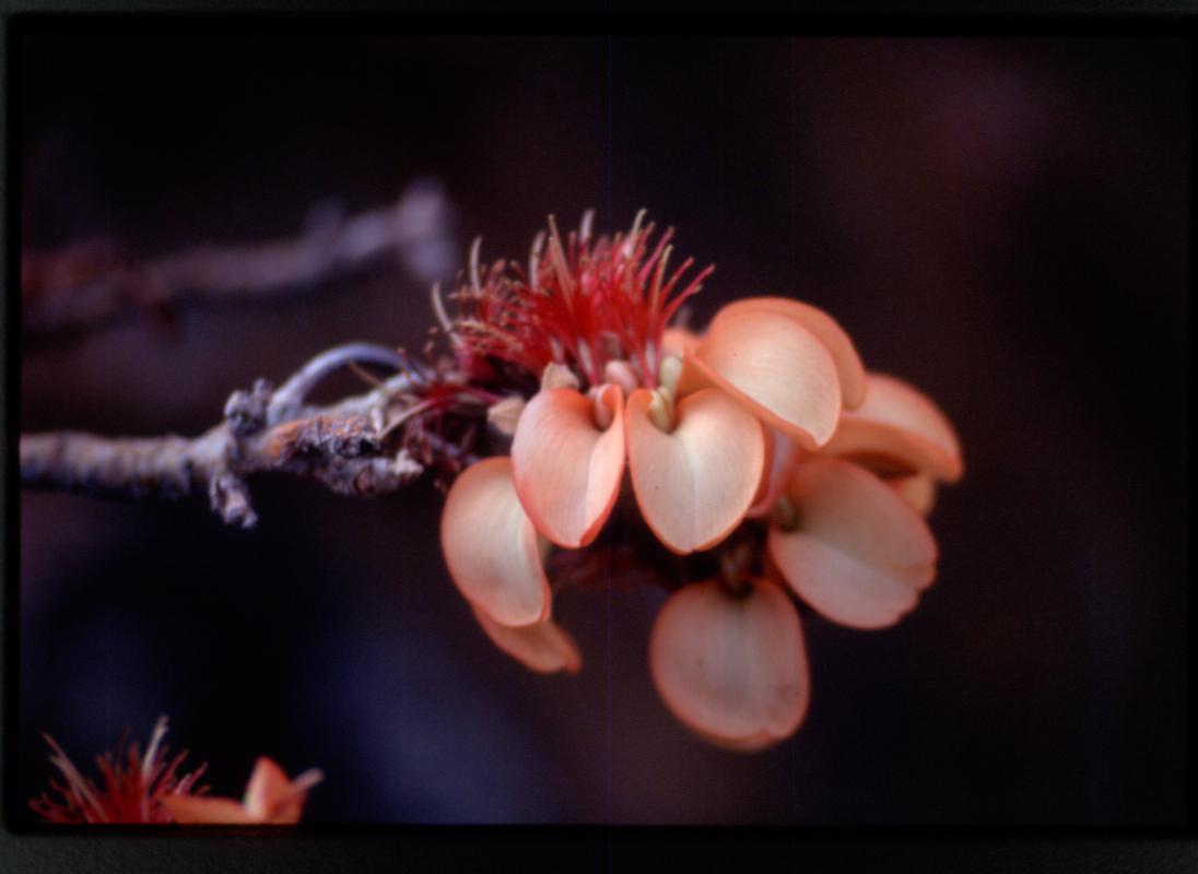 wiliwili_flower