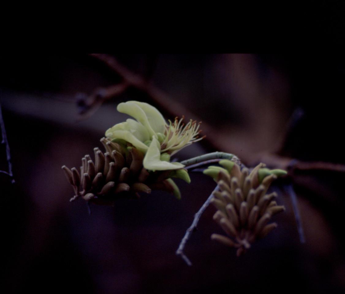 pt-dev19970918-21 - erythrina sandwicensis (white)