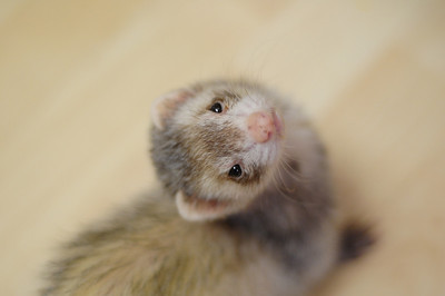 "This is our older ferret ""Warp"". She has to get monthly shots and is constantly on antibiotics these days."