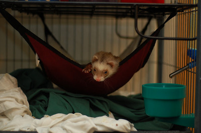It's hard to MF on things that move as fast as ferrets, but when they aren't moving, it's not so hard.