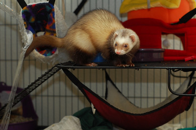 ferret portrait. That's the furry one. She makes better pictures. The other one is all bald from her hormone disorder.