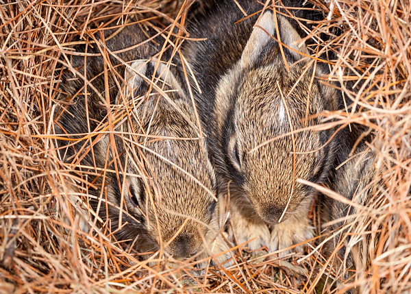 "Rabbit ""kits"" in nest"