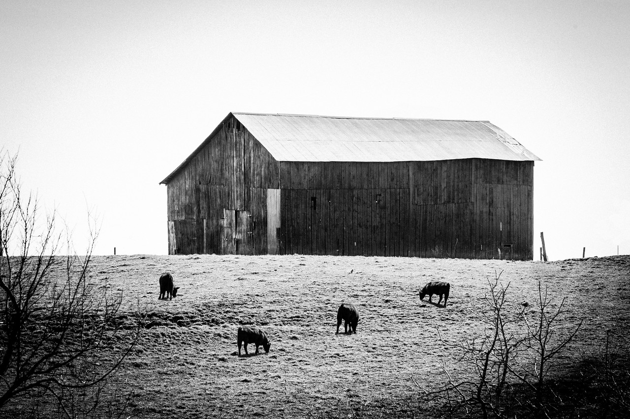 Barn and Cattle, Madison County, KY