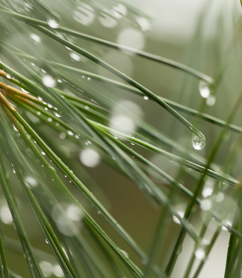 Pine needles and water droplets