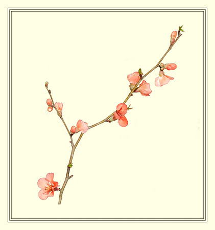 Flowering Branch - Light