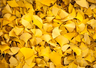 Fallen Ginko Tree Leaves
