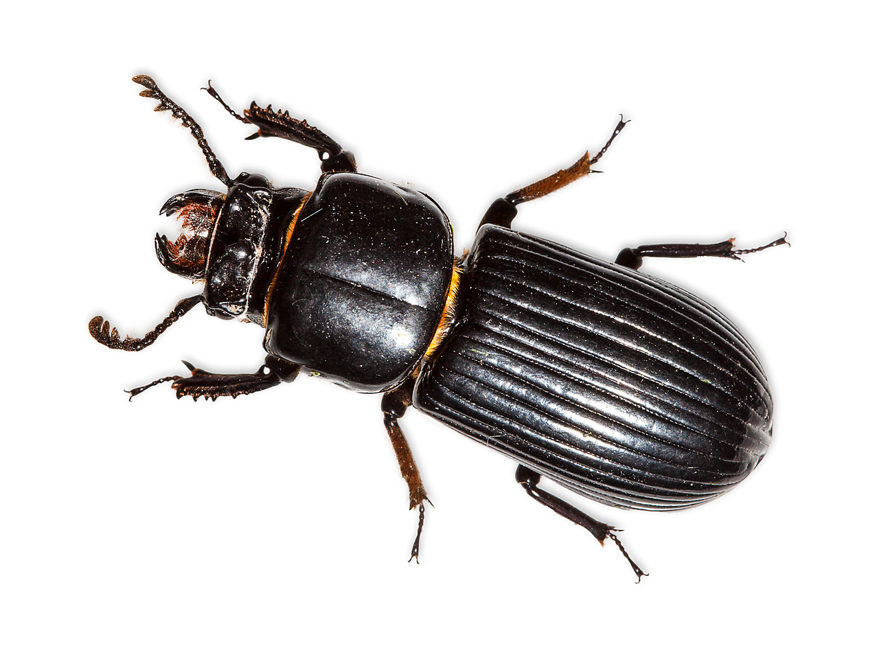 Patent-Leather Beetle