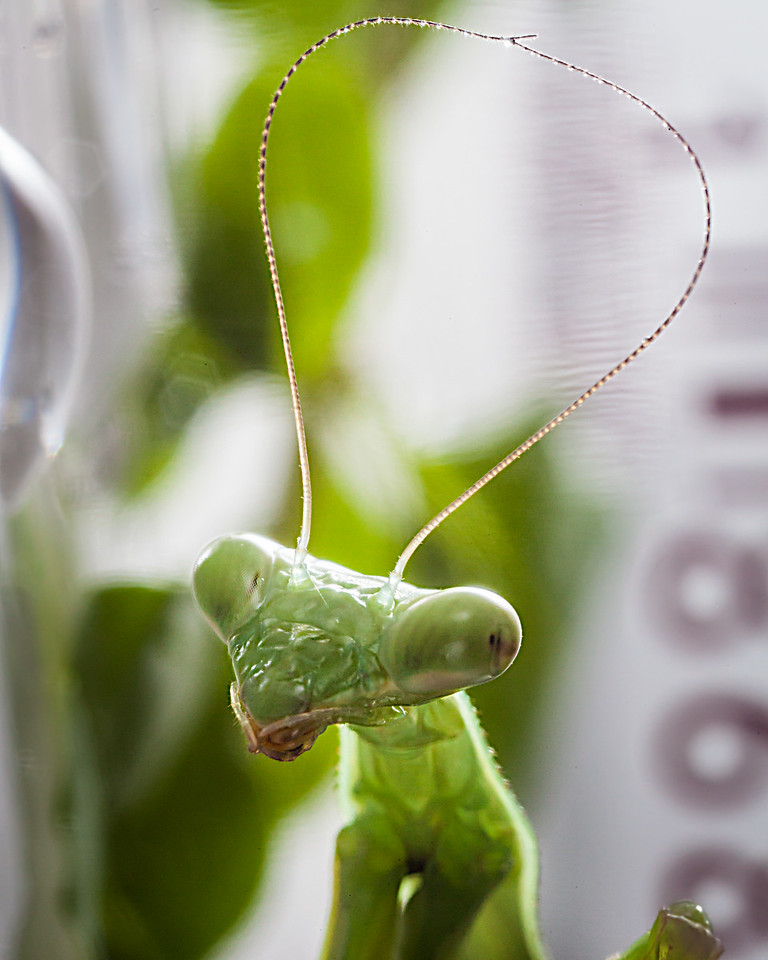 Praying Mantis with Stuck Together Antennas