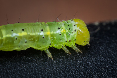 "A close-up of the ""inchworm"" which is the caterpillar of the geometer moth"