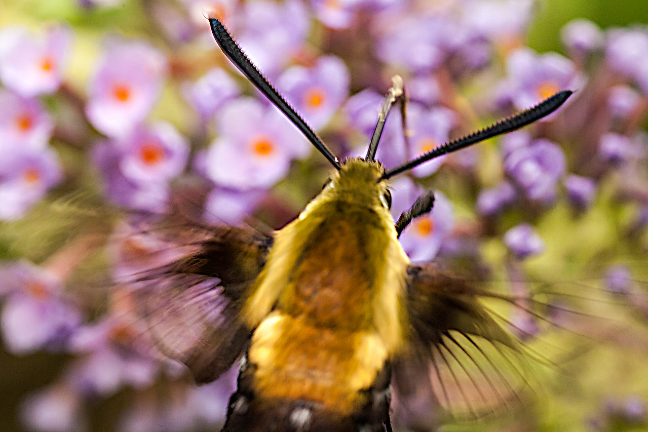 Hummingbird Clearwing Moth ( Hemaris thysbe)