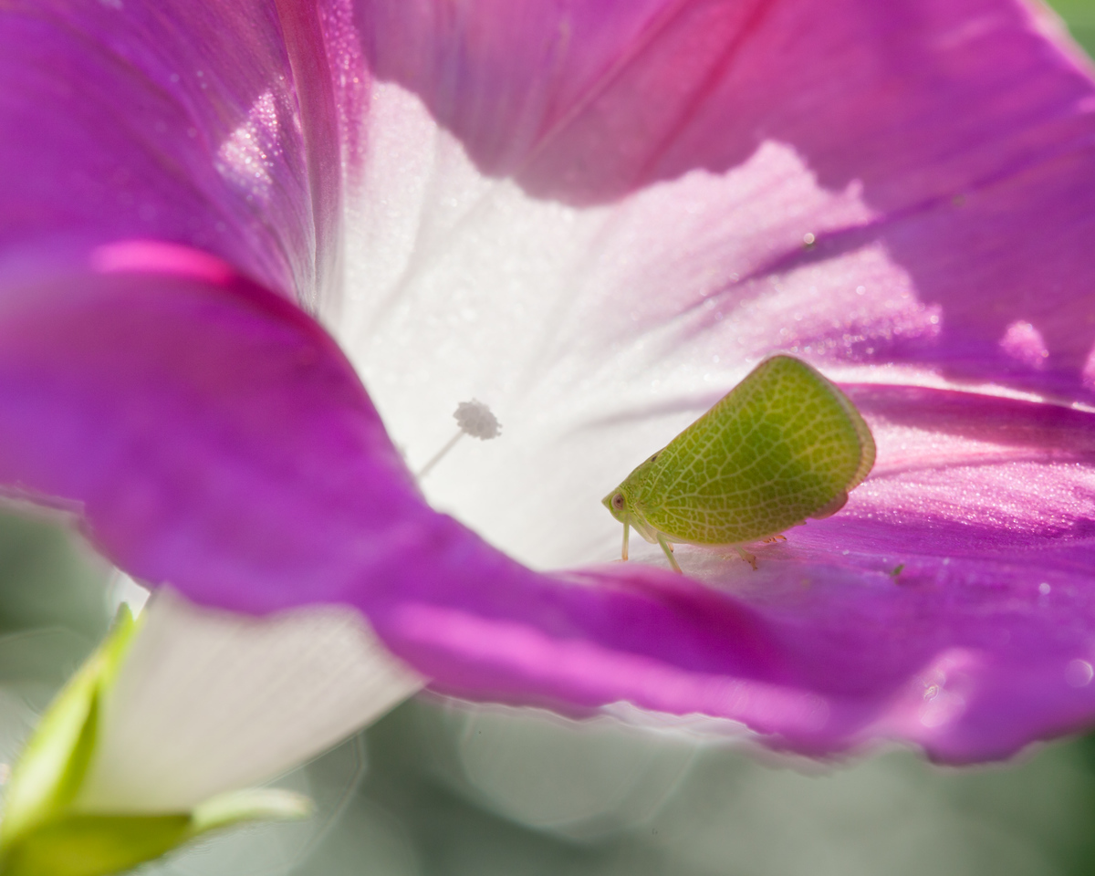 Leaf insect on a morning glory