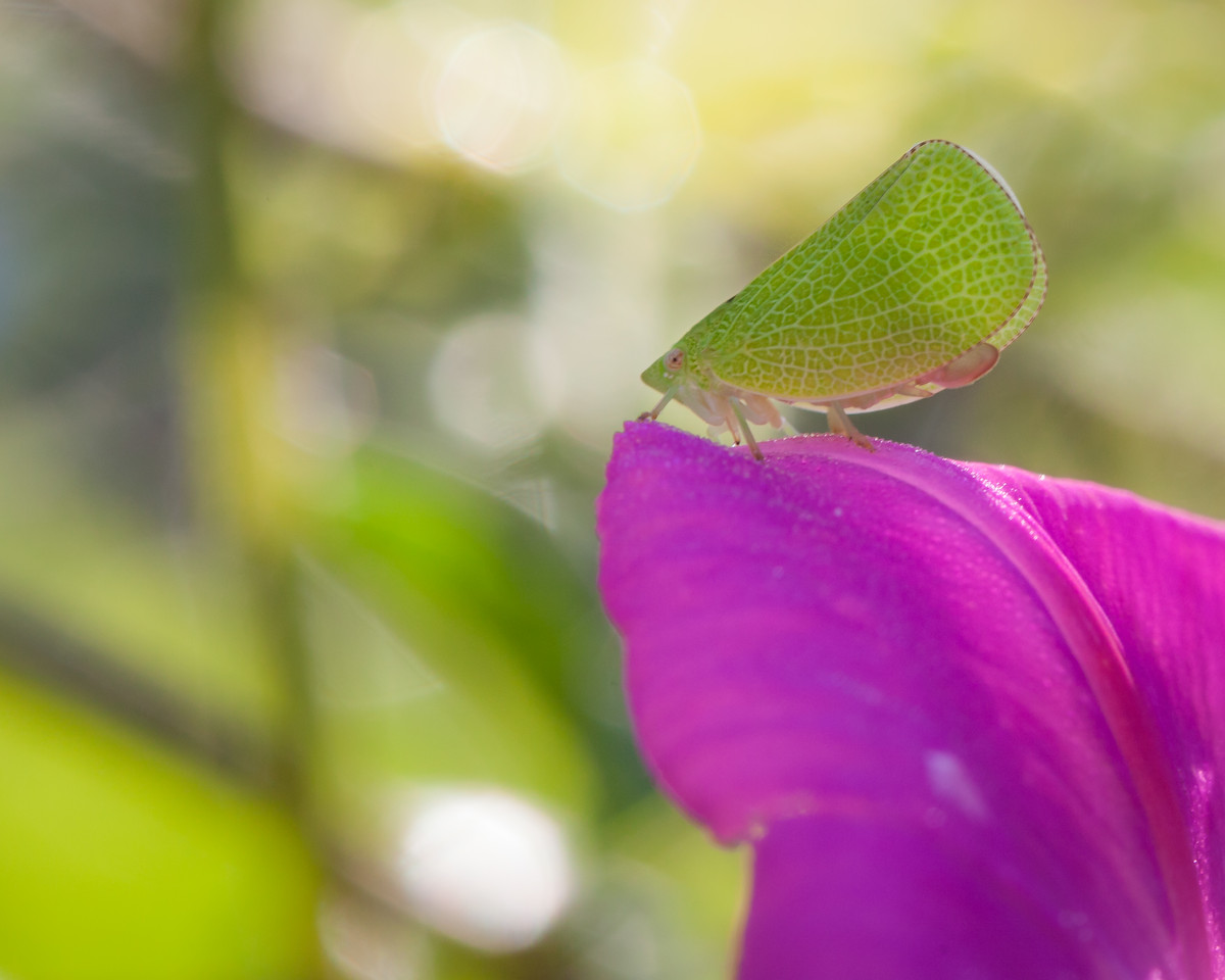A leaf bug poised on the edge of a flower