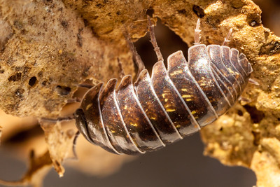 "The common ""pill-bug"" or roly-poly"""