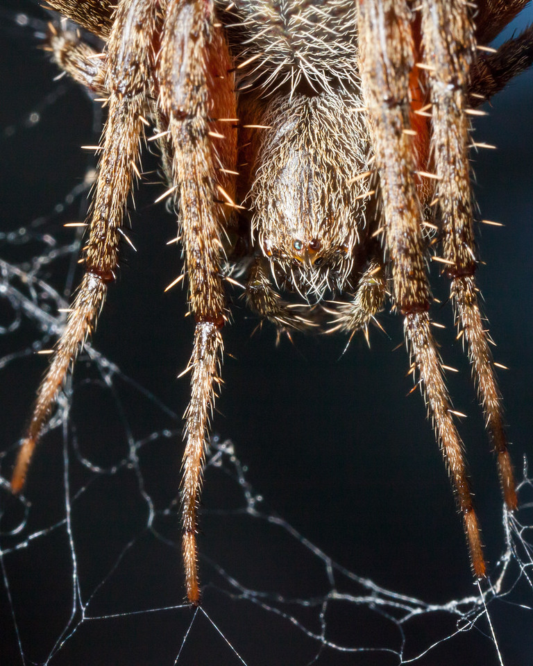 """""""Angry"""" spider eying the camera with one blue eye"""