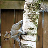 "Another of Michelle's squirrel pictures. They were both taken in our ""backyard"" when we were renting."