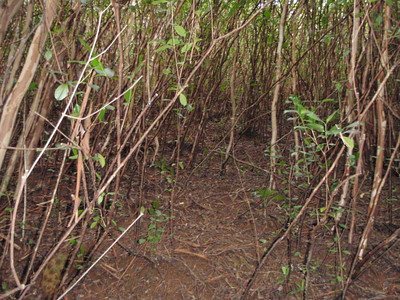 Bare soil under strawberry guava promotes erosion strawberry guava,Psidium cattleianum,erosion,invasive species