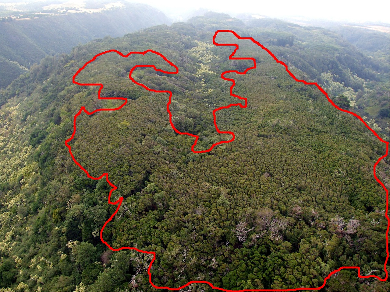 Strawberry guava spreading into the West Maui watershed; few native ohia remain