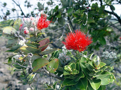 Native ohia are being outcompeted and replaced by strawberry guava thickets