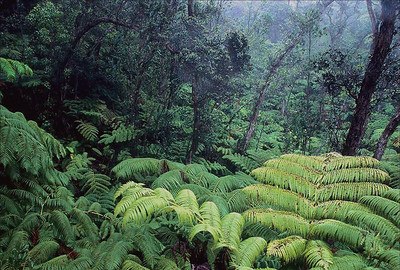Native Hawaiian forest