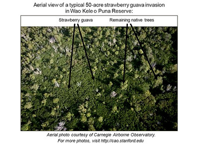 Aerial view of a typical 50-acre strawberry guava invasion in Wao Kele o Puna Reserve