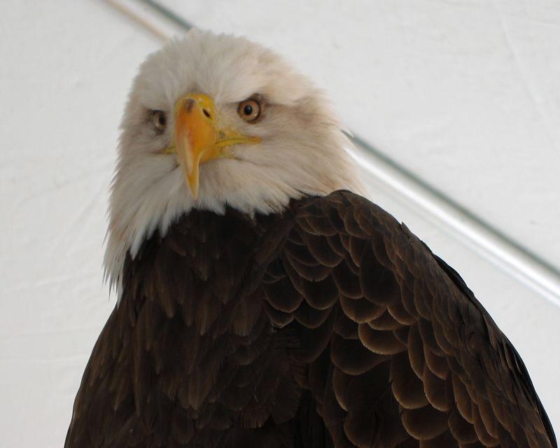 Eagle Days