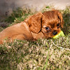 Misha joined us at eight weeks old. In case you are interested, he's a ruby Cavalier King Charles spaniel
