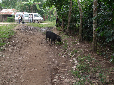 Livestock on path to school