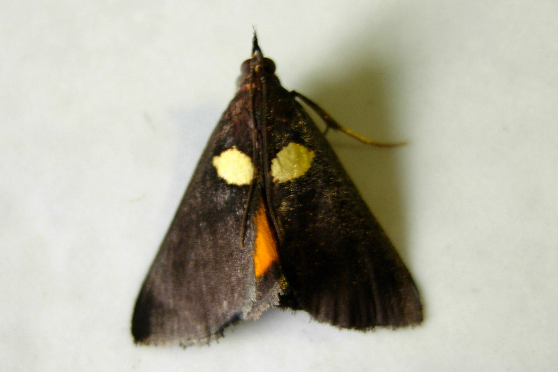 white-spotted Sable Moth