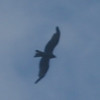 Black Kite ( milvus migrans)